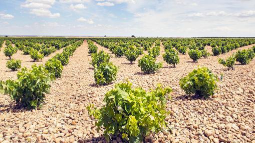 Viñedo de Gelmer Wines en Villanueva de Alcardete (Toledo)