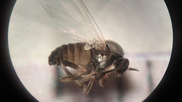 Las molestas consecuencias de la mordedura de la mosca negra: dermatitis, edemas y picores