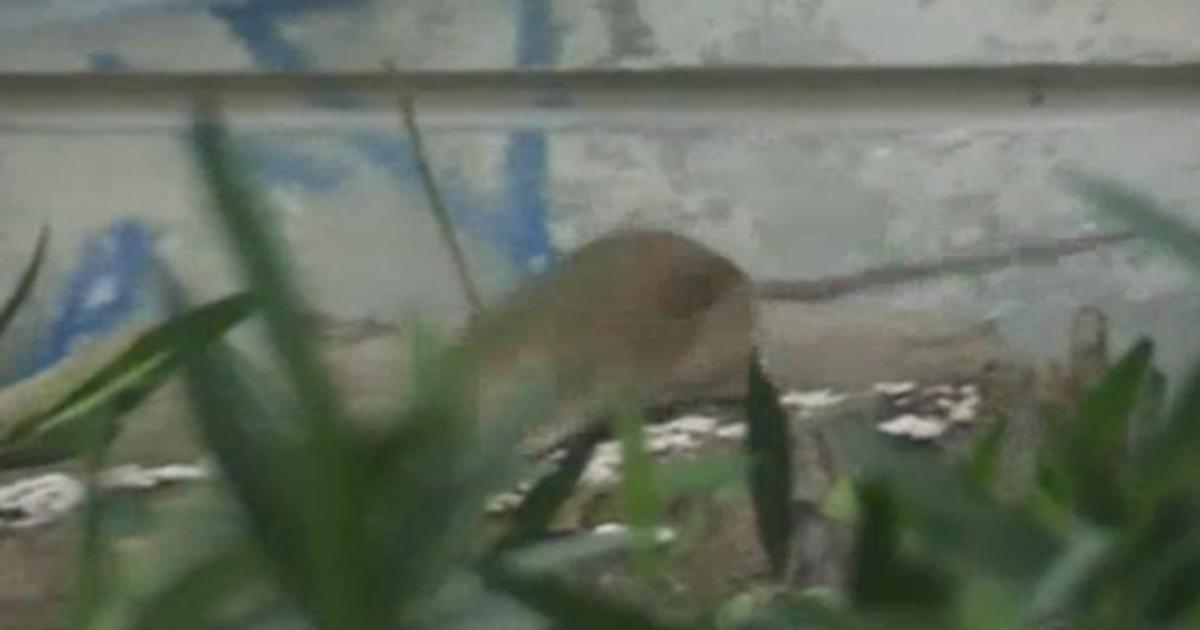Resultado de imagen para ratas gigantes en madrid aparecen por la estacion renfe de méndez alvaro
