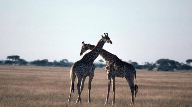 Imagen de archivo de dos jirafas