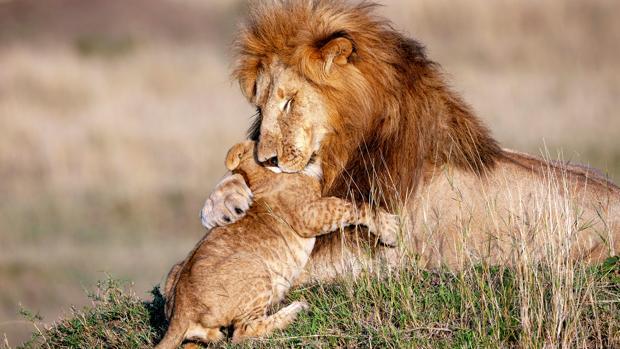 Un león adulto macho abraza a su cachorro