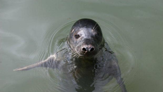 Las focas grises pueden imitar partes de melodías humanas
