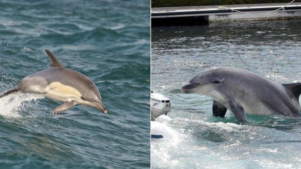 Ejemplar de delfín común (izquierda) y delfín mular (derecha)