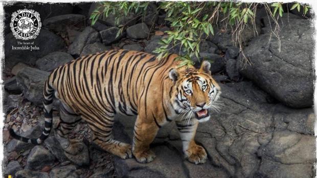 India duplica su población de tigres cuatro años antes de la fecha límite
