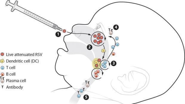 La vacuna se administra por vía intranasal, donde se aloja el virus, y allí desencadena una poderosa respuesta inmune