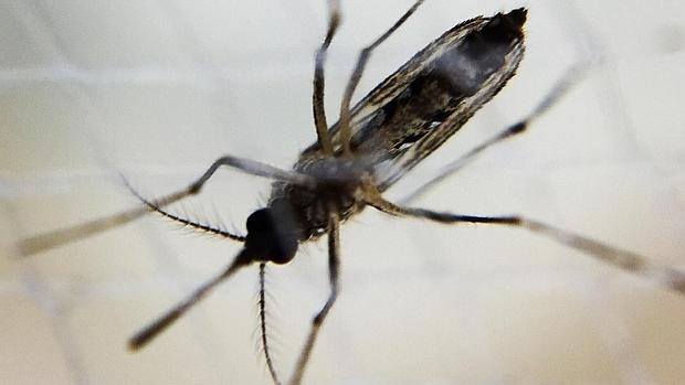 Mosquito Aedes hembra