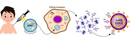 Cómo funciona una vacuna ARN. Los investigadores toman parte del ARN del virus y lo recubren con un lípido para que pueda introducirse en las células corporales mediante una inyección intramuscular. La vacuna ingresa en las células y el ARN les ordena que produzcan las proteínas de la espiga del coronavirus. Eso hace que el sistema inmunológico produzca anticuerpos (AC) y active las células T para destruir las células infectadas. Si el paciente tiene coronavirus, los anticuerpos y las células T se activan para combatirlo