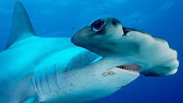 Proteger al tiburón martillo