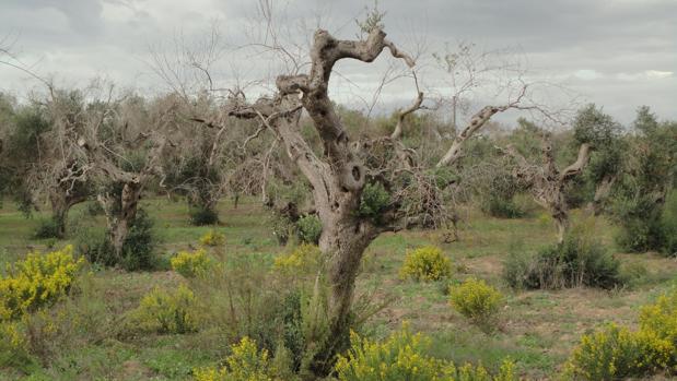 PLantación de olivos en Italia afectados por Xylella fastidiosa