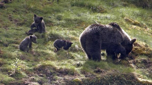 Los osos se han convertido en uno de los símbolos de la fauna cantábrica