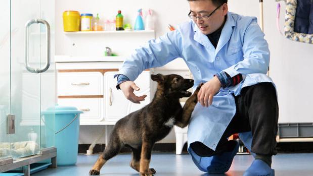 Kunxun, el perro clonado en China, juega con uno de los científicos