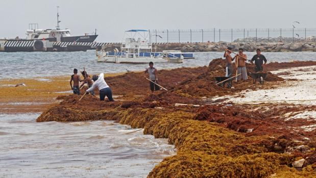 Pescadores limpian del sargazo sus playas este lunes en la población de Puerto Morelos, en el estado de Quintana Roo