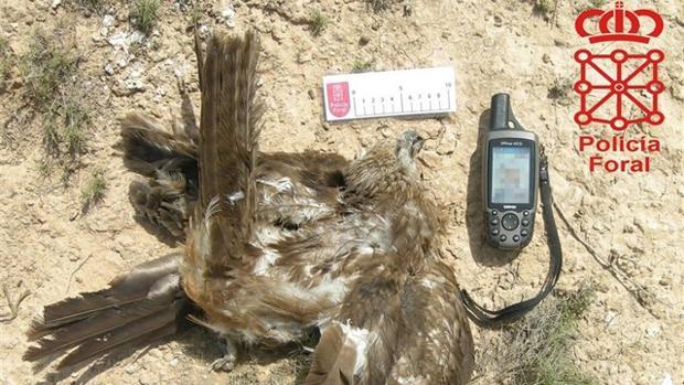 Un ave envenenada que fue encontrada por la Policía Foral.