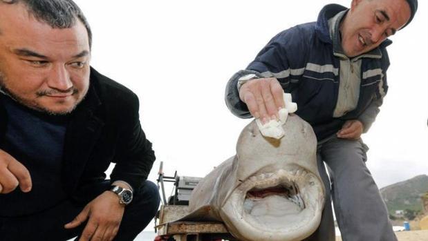 Un tiburón de 2,70 metros de longitud, de la familia 'Hexanchus griseus', conocida como 'Cañabota Gris' ha aparecido varado en la playa de L'Albir, (Alicante)