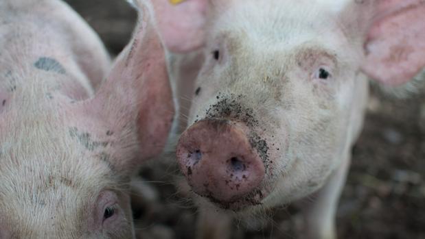 Imagen de archivo de una granja porcina