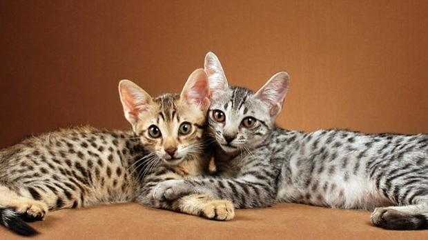 Gatos híbridos, la última moda de cruzar animales que le ha costado 30.000  dólares a Justin Bieber