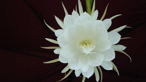 La flor de Kadupul